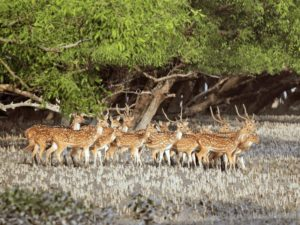 Sundarban Animal