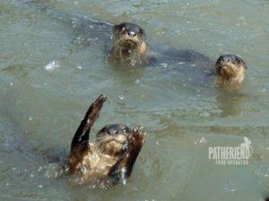 Otter Fishing