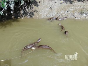 Otter Fishing Bangladesh