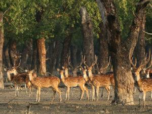 Dotted Deer