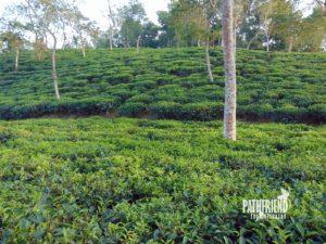 Tea garden Srimangal